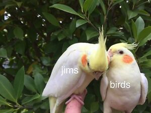Hand Tame  friendly baby Cockatiels. ( male and female). $75. Bentleigh East Glen Eira Area Preview