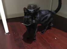 Black cat fully desexed and vaccinated for sale Mount Riverview Blue Mountains Preview