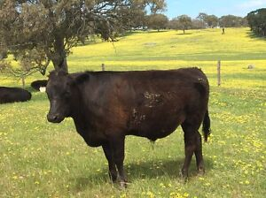 2 Wagyu cross Angus steers Brukunga Mount Barker Area Preview