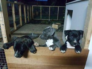 Amstaf x Koolie pups Whalan Blacktown Area Preview