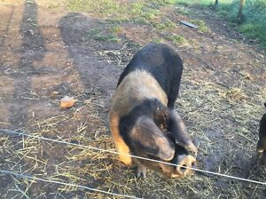 Saddleback Boar Doreen Nillumbik Area Preview