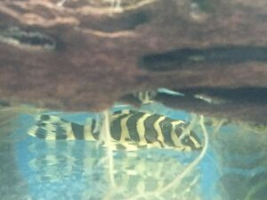 L134 Leopard Frog Plecos Airport West Moonee Valley Preview
