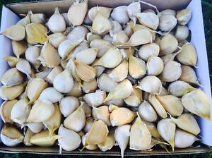 Premium Organic Garlic - 5kg Box Delivered Direct to your Door Bucca Coffs Harbour Area Preview