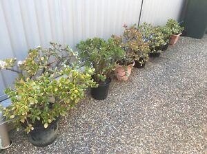 Chinese Money trees/ jades from $20 - $70 Penshurst Hurstville Area Preview