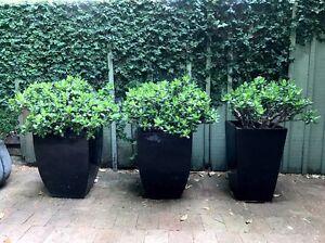 Mature jade plants in pots Mosman Mosman Area Preview