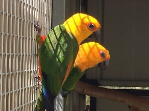 Downsizing aviaries- excess breeding stock conures Hallam Casey Area Preview