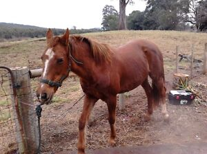 Wanted: horse to work Deloraine Meander Valley Preview
