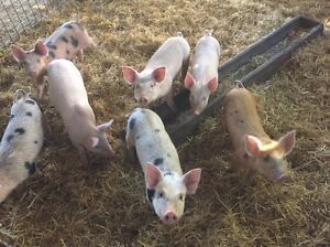Piglets Goolwa Alexandrina Area Preview