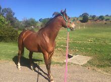 Qh quarter horse Omeo East Gippsland Preview