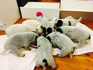 Blue Heeler / Red Puppies / cattledog Belmont Lake Macquarie Area Preview