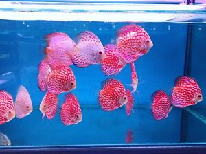 New Forest Discus shipment has arrived - selling quickly Como South Perth Area Preview