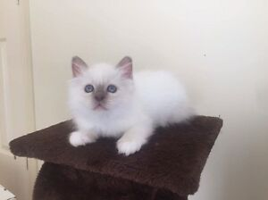 Birman kittens Sydenham Brimbank Area Preview