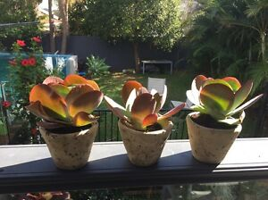 Succulents Collaroy Manly Area Preview