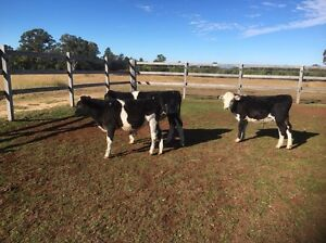 Beef cross bull calves Inverell Inverell Area Preview