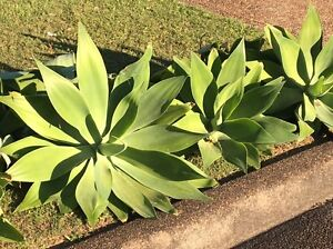 Free plants Bolwarra Heights Maitland Area Preview