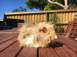 Guinea pig Manly Manly Area Preview