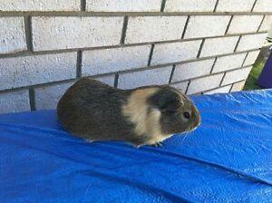 Male Guinea pig Hillcrest Logan Area Preview
