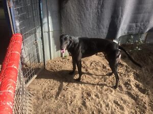 Free to good home greyhound Hoppers Crossing Wyndham Area Preview