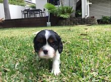ONLY ONE TRI MALE LEFT, King Charles Cavalier Puppies Robina Gold Coast South Preview