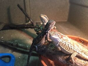 Baby bearded dragons Smithfield Cairns City Preview