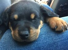 Rottweiler Pup's Brookfield Melton Area Preview
