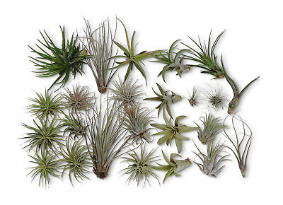 SALE 24 Pack Tillandsia Assortment  Air Plants As Is FREE SHIPPING