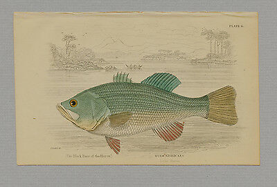 HURO NIGRICANS HAND-COLORED PRINT JARDINE NATURALISTS LIBRARY 1875