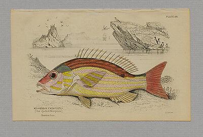 MESOPRION UNINOTATUS HAND-COLORED PRINT JARDINE NATURALISTS LIBRARY 1875