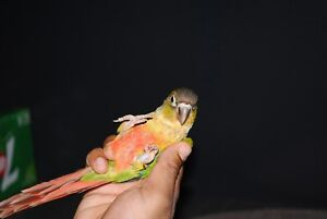 Yellow sided conure baby