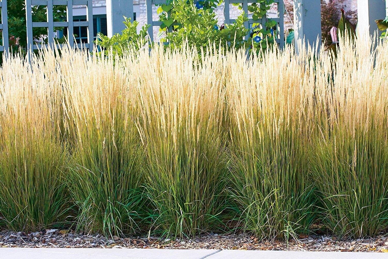 1 x calamagrostis acutiflora karl f rster 39 1 liter ziergras gr ser stauden eur 3 49. Black Bedroom Furniture Sets. Home Design Ideas