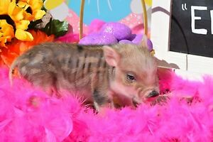 Mini Pet Pigs -Accepting Deposits for 2017!