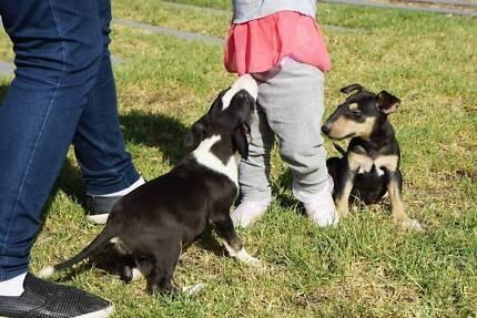 Purebred Bull terrier pups