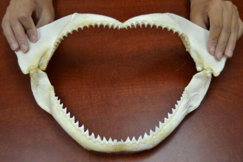 """SPINNER SHARK TEETH JAW MOUTH 14"""""""