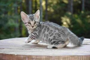 Chatons Bengal Silver TICA