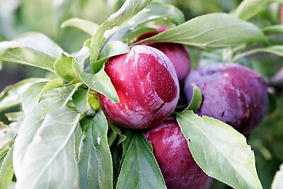 2 HERITAGE DWARF RED PLUM TREES 18-24 INCH  FLOWERING FRUIT TREES  LIVE PLANTS