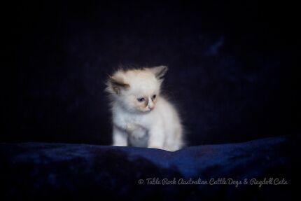 Beautiful Purebred Ragdoll Kitten