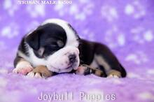 Australian Bulldog Pups For Sale Denman Muswellbrook Area Preview