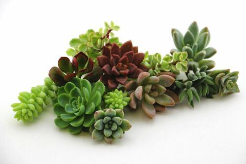 Succulent 15 Varieties Assorted  Succulent Plant Cuttings