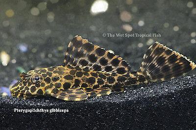 "(1) 2.5"" Marble Sailfin Pleco Pterygoplichthys gibbiceps TR Live Fresh Tropical"