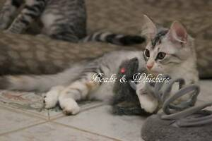Crystal & Kenya - Domestic Kittens