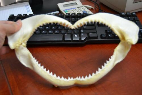 "BLACKTIP SHARK TEETH JAW MOUTH 12"""
