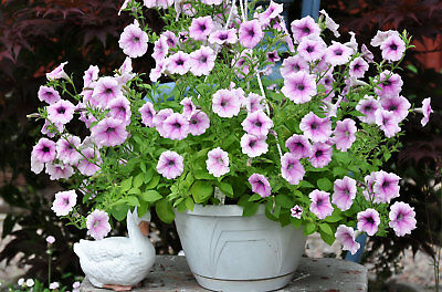 6 spreading petunia seeds SHOCK WAVE PINK VEIN The best for baskets,