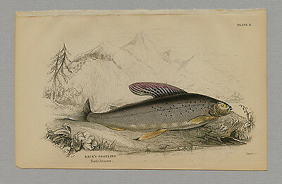 BACK'S GRAYLING HAND-COLORED PRINT JARDINE NATURALISTS LIBRARY 1875