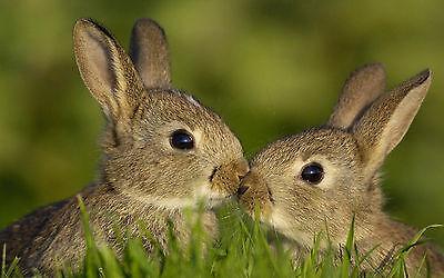 Gerahmter Druck – Süß Küssen Baby Kaninchen (Bild Plakat Wildes Tier Wildtiere)