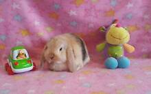 Orange Harlequin-Purebred Mini Lop Baby Girl Registed Club Member Melton Melton Area Preview