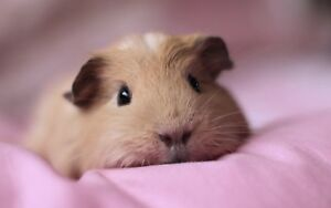 Guinea Pigs: Must Read