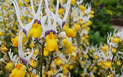 LONG-EARED NEMESIA * Nemesia cheiranthus * MASQUERADE *EXOTIC BLOOMS* SEEDS NEW!
