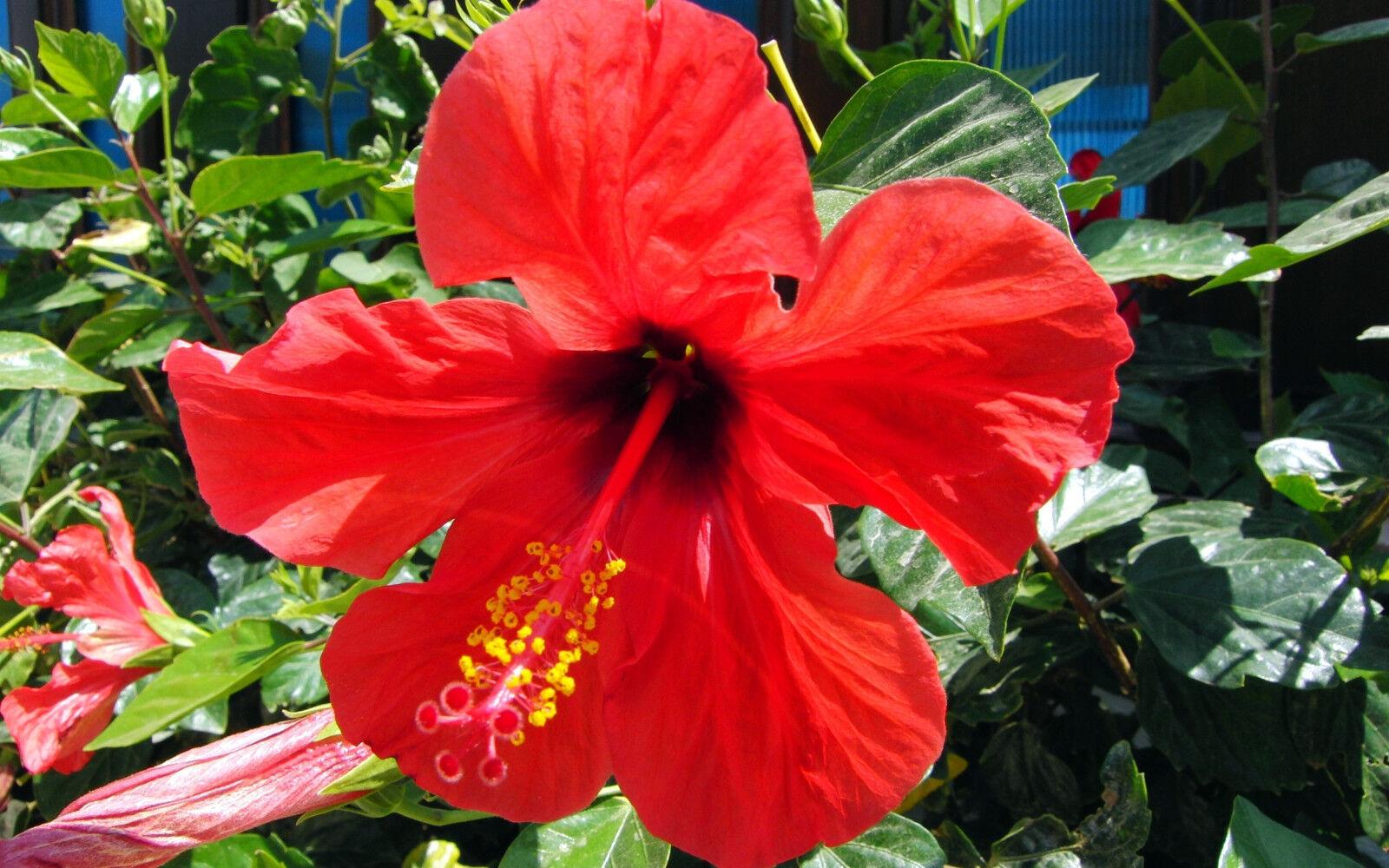 Fresh Premium Hawaiian Sun Dried Organically Grown Cut Red Hibiscus