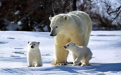 POLAR BEAR 8X10 GLOSSY PHOTO PICTURE