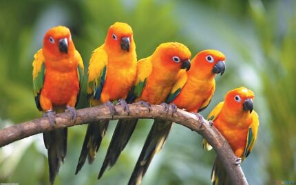 Wanted. A DNA sexed pair of sun conures  Hazelbrook Blue Mountains Preview